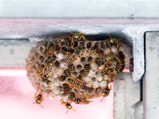 wer entfernt wespennester im wohnbereich